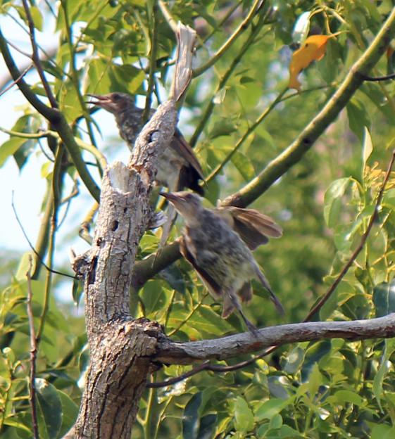 ヒヨドリの幼鳥さん2羽  (5)