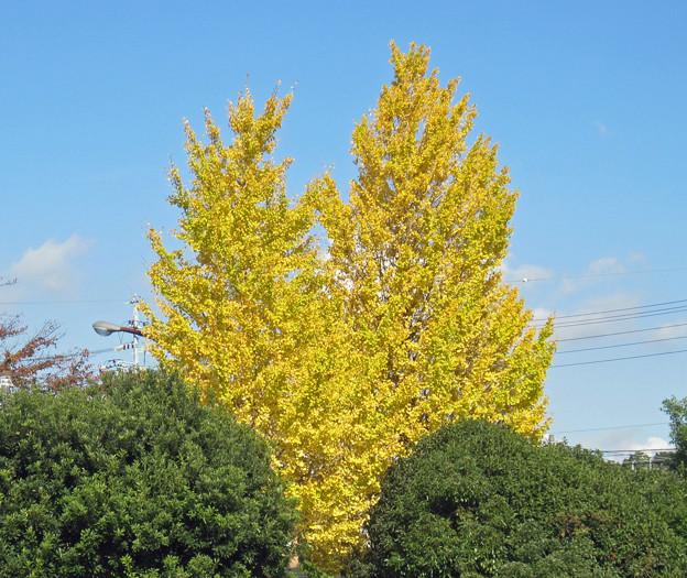 銀杏の木(1) 黄金色