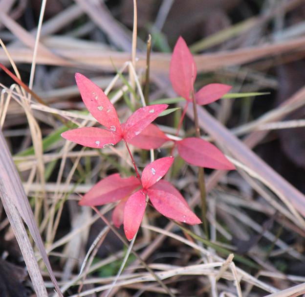 南天の小さな芽  ヒヨドリさんの贈り物