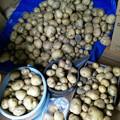 Photos: ジャガ芋 大量収穫!