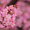 写真: 伊丹空港の桜