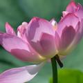 写真: 影がさしたハスの花。