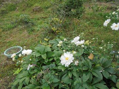 Photos: 10月5日「秋明菊」