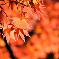 写真: 照る山~ 紅葉っ