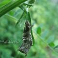 タテハチョウ科の幼虫は棘っぽい。(コミスジ幼虫・信州にて)