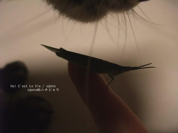 写真: に、近づくアヤシイ影。(オンブバッタ)
