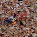能登 増穂ヶ浦の   桜貝