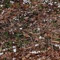 雪割草 群生
