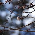 塩竈神社境内の四季桜