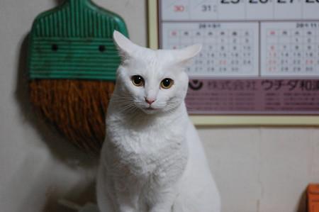 2016年10月6日のシロちゃんちゃん(メス3歳)