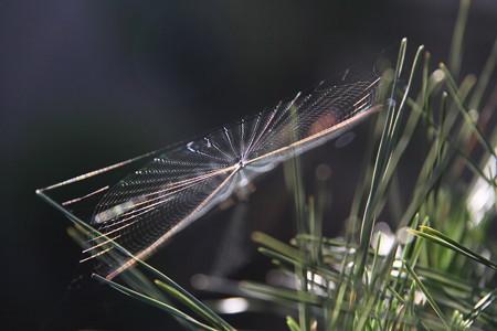 松葉の蜘蛛の巣