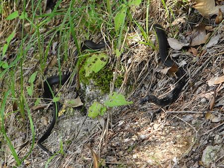 豊田市自然観察の森:初めて見た黒蛇(烏蛇)