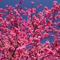 写真: 寒緋桜が満開