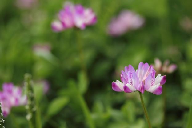 春は蓮華草