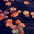 写真: 池塘のヒツジグサ