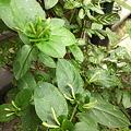 """写真: Honeysuckle""""Aureoreticulata"""""""