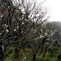 鎌倉の梅は