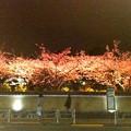 Photos: 夜の川津桜