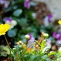 Photos: 春は黄色