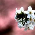 桃色で彩る大島桜