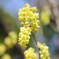 シナノミズキが咲く季節