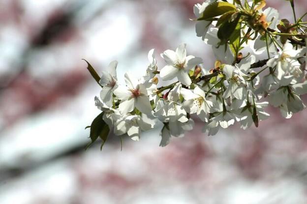 大島桜の輝き(ピンクバージョン)
