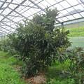 Photos: ハウスびわ(富房)の樹