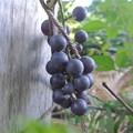 庭に植えたブドウの実
