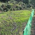Photos: びわ山(早仏)のネット張り