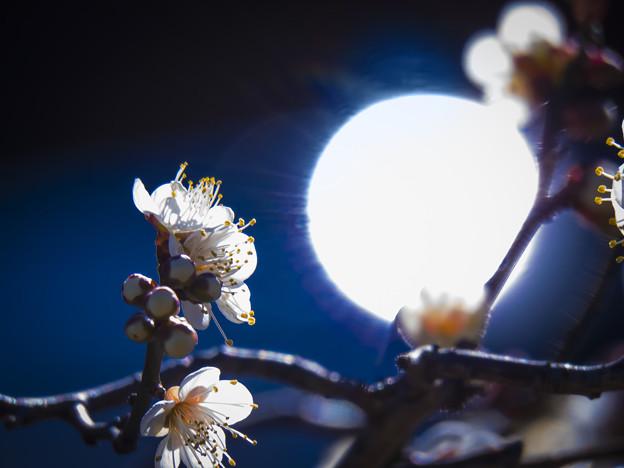 写真: 初梅、陽光に映えて