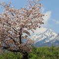 妙高山と桜