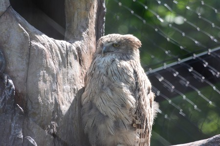 シマフクロウ 雌