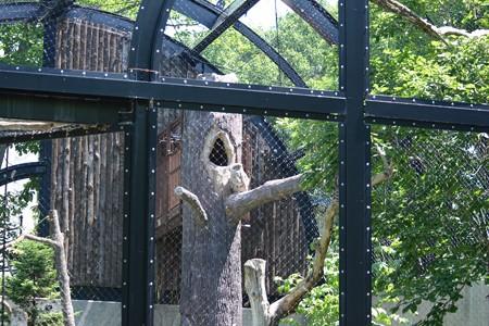 旭山動物園 シマフクロウ雌