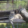写真: ユキヒョウのお母さん(旭山動物園)