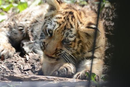 旭山動物園のアムールトラの赤ちゃん