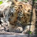 写真: 旭山動物園のアムールトラの赤ちゃん