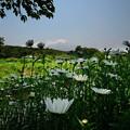 花と富士 (3)
