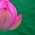 蓮の花 (3)