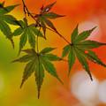 写真: 紅葉(3)