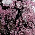 小石川庭園 枝垂れ桜