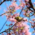 散りかけの河津桜にメジロ2