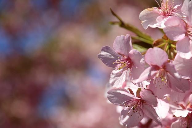 三浦海岸の河津桜8