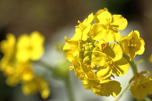 菜の花、陽に当たって