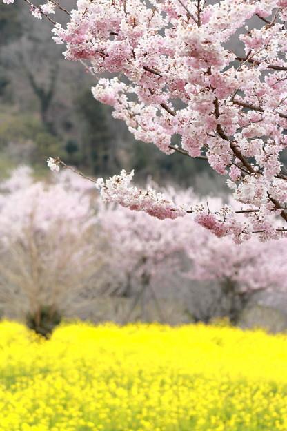 春めき桜と菜の花