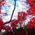 写真: 彼岸の花