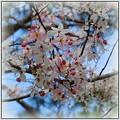 Cassia bakeriana 4-15-16