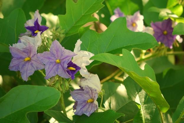 Blue Potato Tree 4-21-16