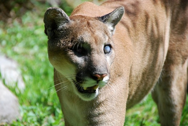 Uno the Florida Panther 6-4-16