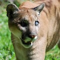 Photos: Uno the Florida Panther 6-4-16