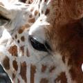 Photos: Giraffe 6-4-16